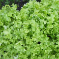 Green Oak Lettuce