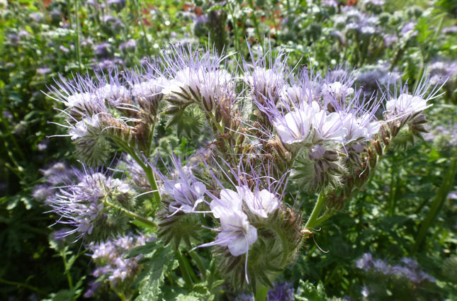 Mauve Blue Quirky Fragrant Flowers Unfold Backwards Over An Extended Period In The Summer It Is A Great Cover Crop And Can Be Used As Part Of Guild